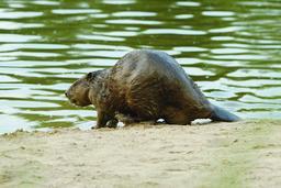 Le castor de Loire | ONCFS CENTRE- ILE- DE- FRANCE