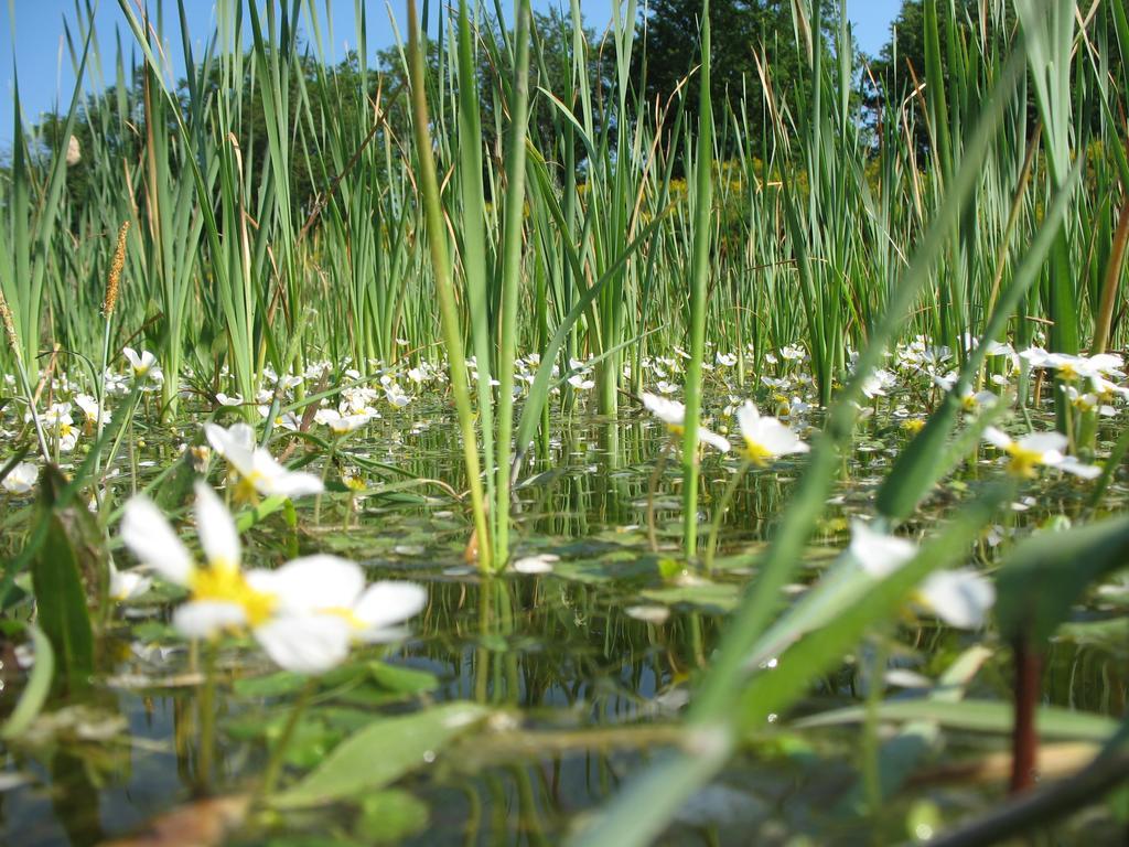 Renoncule aquatique dans une roselière | DIRECTION REGIONALE DE L'ENVIRONNEMENT, DE L'AMENAGEMENT ET DU LOGEMENT CENTRE-VAL DE LOIRE
