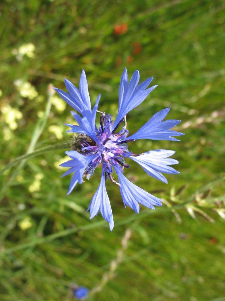 Bleuet | OLIVEREAU (Francis)