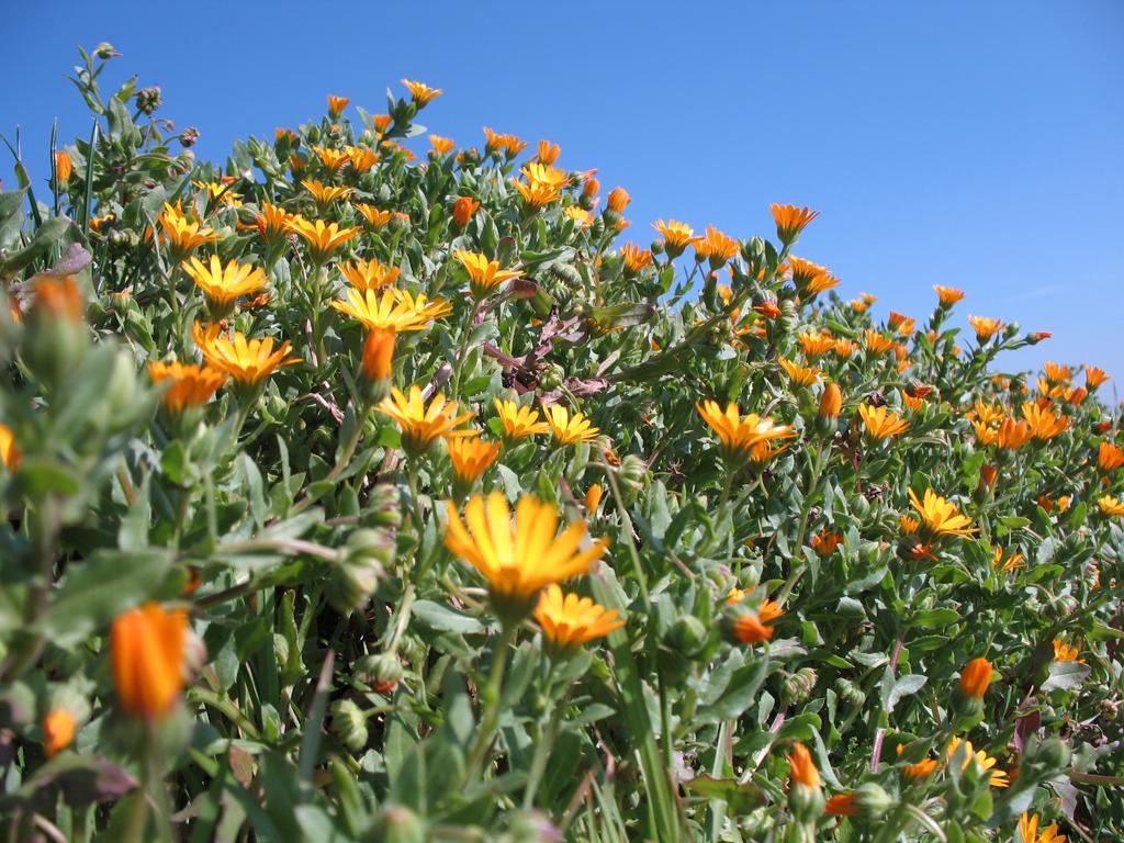Végétation à souci de bord de champ | OLIVEREAU (Francis)