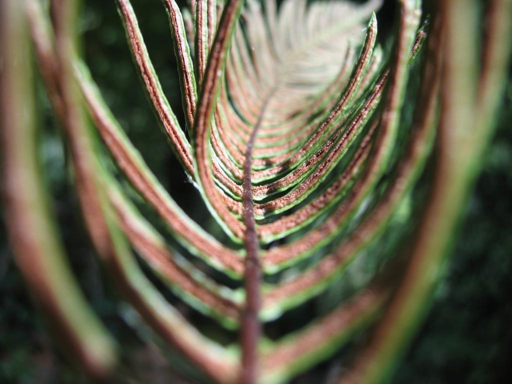 Face intérieure d'une fronde de Blechnum en épi (Blechnum spicant) | OLIVEREAU (Francis)