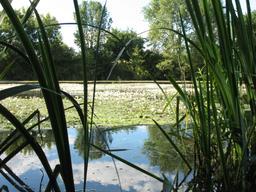 Radeau de renoncules aquatiques sur le Loiret | OLIVEREAU (Francis)