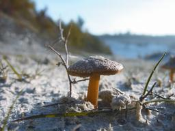 Inocybe : petit champignon des affleurements sableux | OLIVEREAU (Francis)