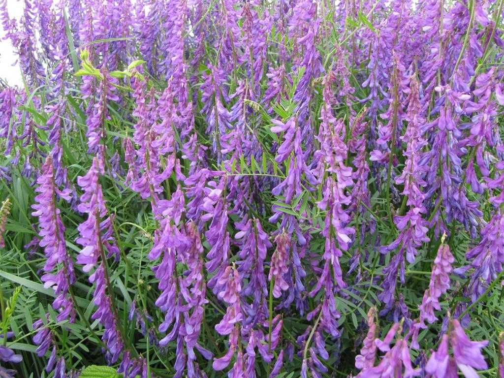 Vesce velue (Vicia villosa) | OLIVEREAU (Francis)