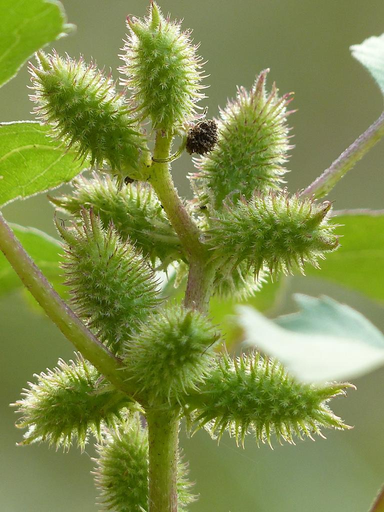 Fruits de lampourde (Xanthium orientale)  | OLIVEREAU (Francis)