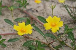 Espèce invasive : Ludwigia grandiflora | CONSERVATOIRE BOTANIQUE NATIONAL DU BASSIN PARISIEN