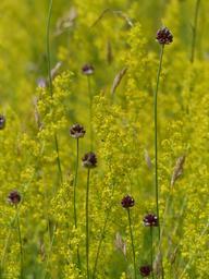 Ail des vignes dans une prairie en fleurs | OLIVEREAU (Francis)